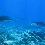 Королевские манты у рифа острова Джарвис