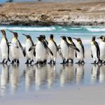 Королевские пингвины на Volunteer PointКоролевские пингвины на Volunteer Point