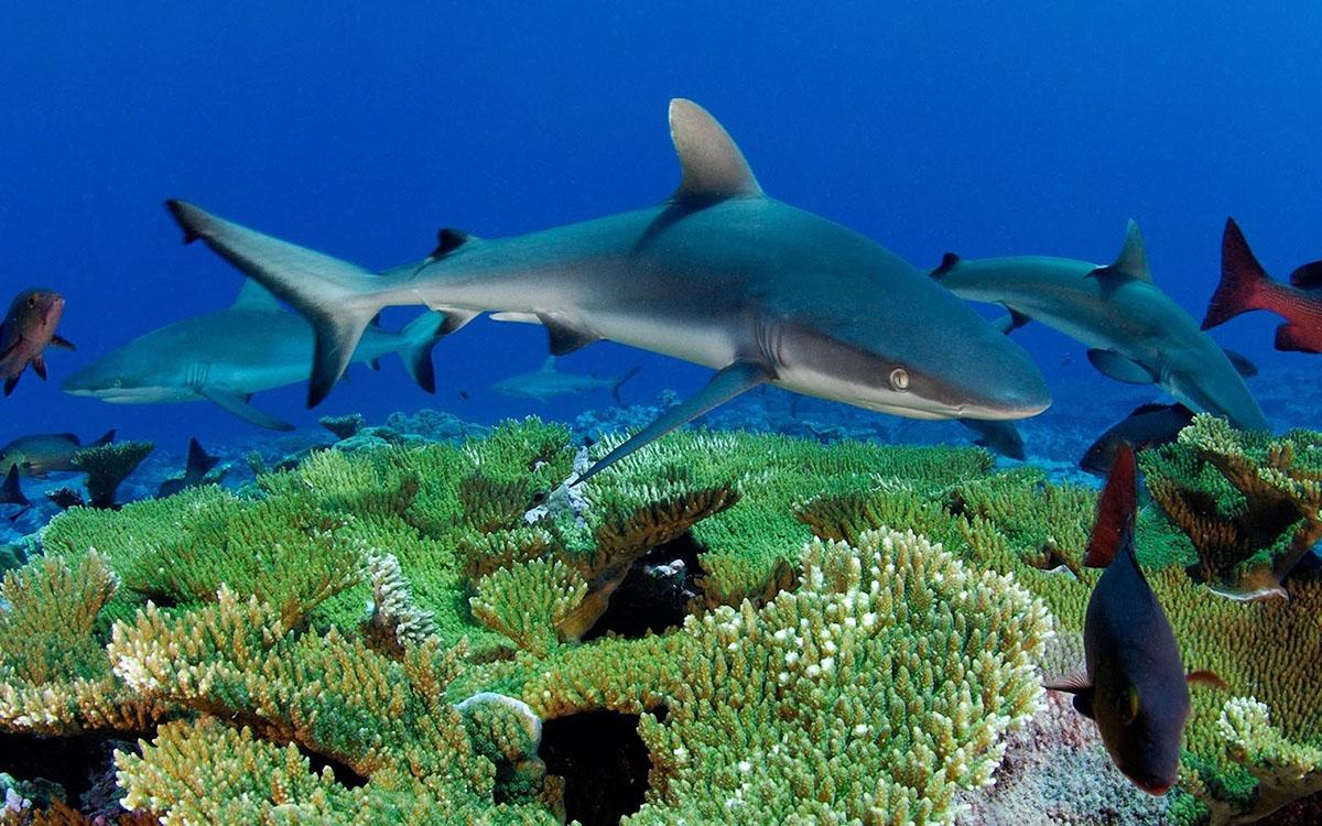 Риф Кингмэн, Серые акулы