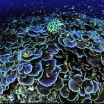 Синие кораллы