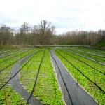 Ферма DAIO WASABI FARM